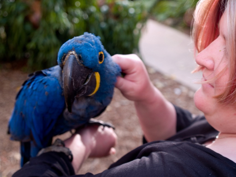 gallery/hyacinth macaw parrots for real 4