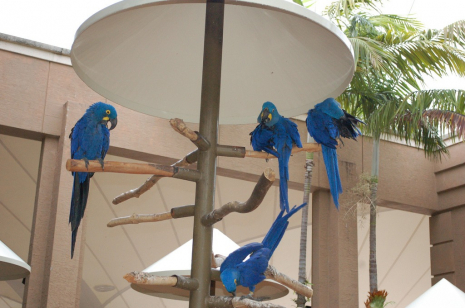 gallery/hyacinth macaw ads ..11