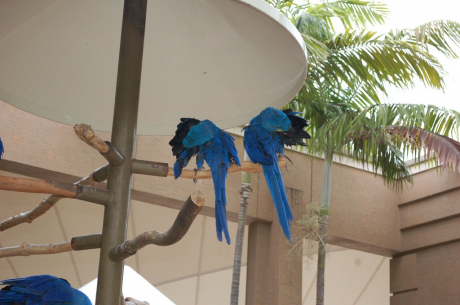 gallery/hyacinth macaw ads ..1.