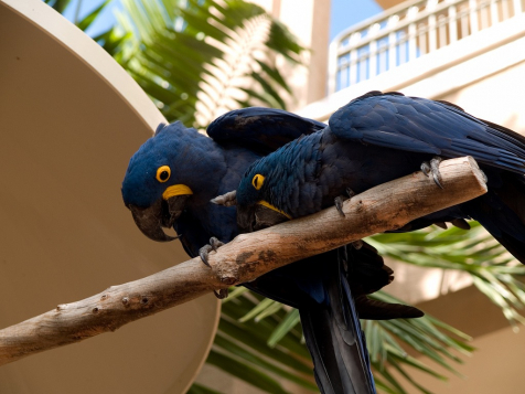 gallery/hyacinth macaw parrots for real 11